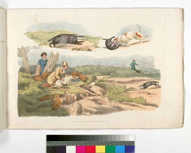 [Badger hunting: dogs chasing and attacking badgers.]