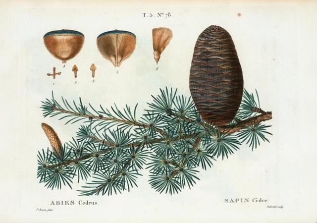 Abies cedrus = Sapin cédre. [Pine family]
