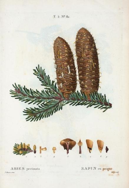 Abies pectinata = Sapin en peigne. [Noble fir]