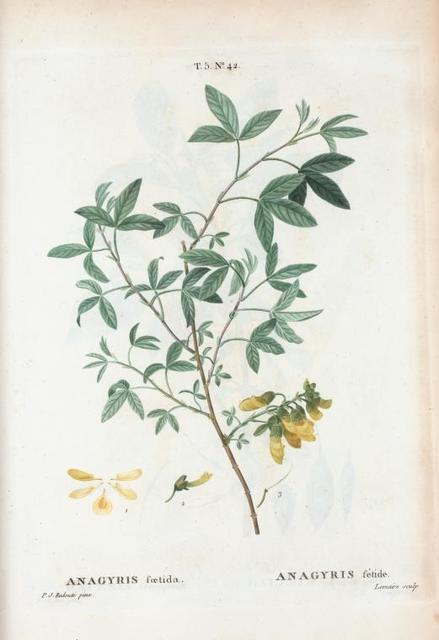 Anagyrus fietuda = Anagyris fétide. [Bean clover, Stinking Bean trefoil, Mediterranean stink bush, Stinking wood]