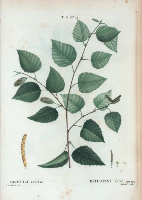 Betula excelsa = Bouleau élevé. [Yellow birch]