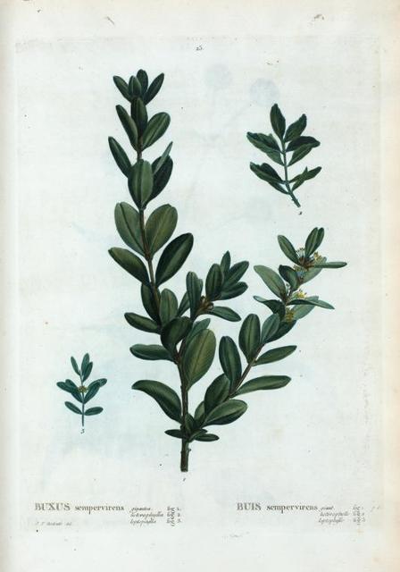 Buxus sempervirens  = Buis sempervirens.