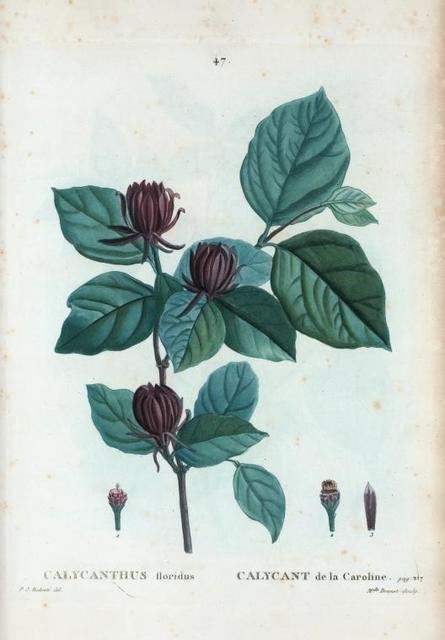 Calycanthus floridus = Calycant de la Caroline.