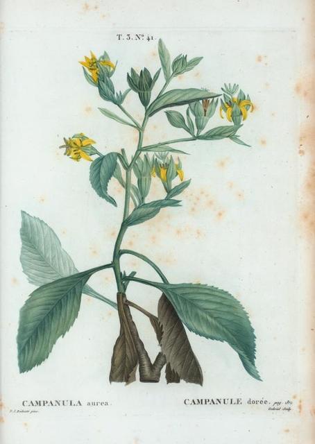 Campanula aurea = Campanule dorée. [Bell flowers]