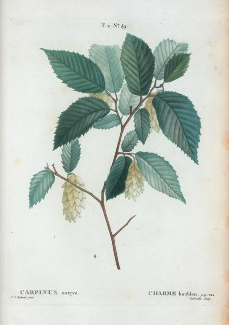 Carpinus ostrya = Charme houblon.