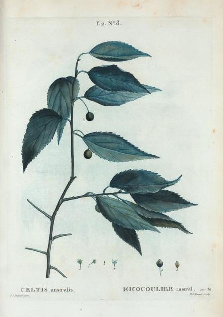 Celtis australis = Micocoulier austral.