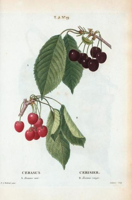 Cerasus = Cerisier. A. Heaume noir. B. Heaume rouge. [Black and Red cherries]