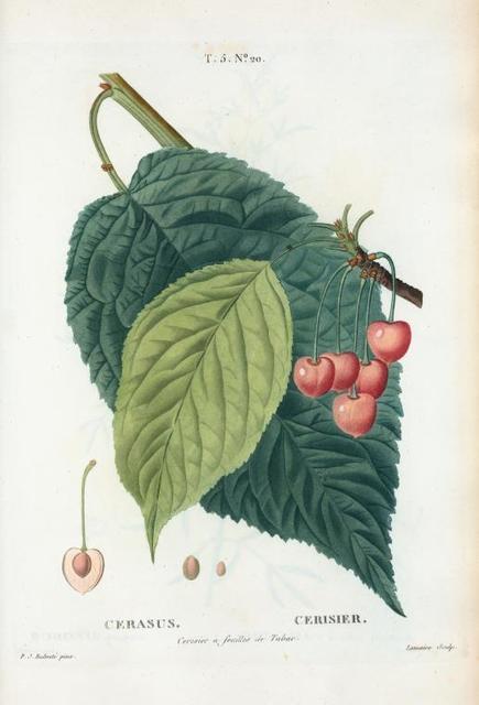 Cerasus = Cerisier. Cerisier à feuilles de Tabac.