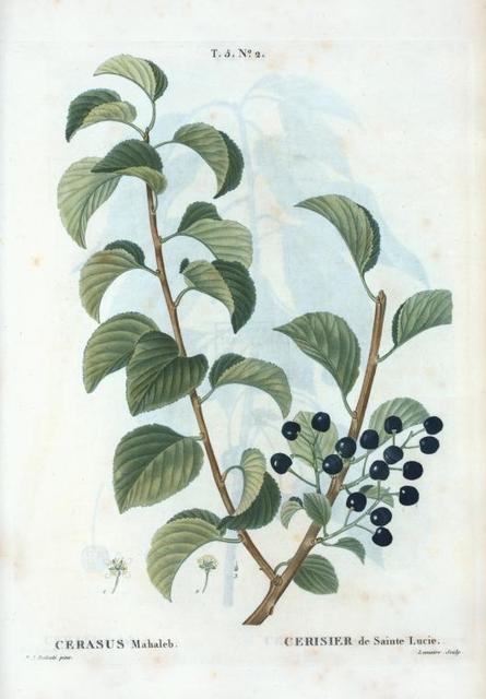 Cerasus mahaleb = Cerisier de Sainte Lucie. [English cherry, Rock cherry, St. Lucie cherry]