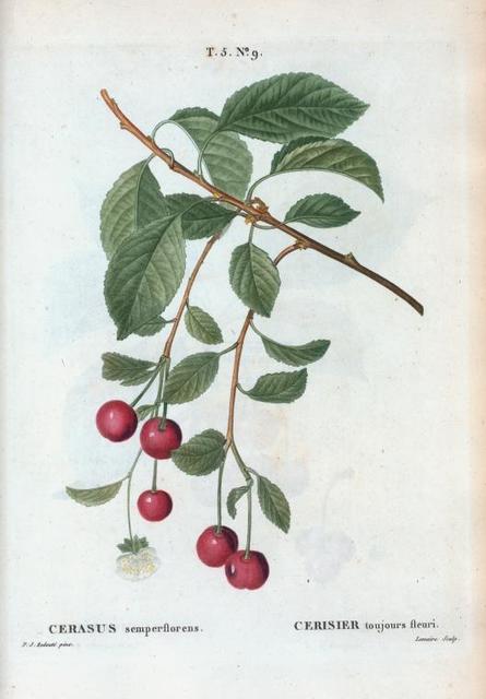 Cerasus semperflorens = Cerisier toujours fleuri. [Allsaints cherry]