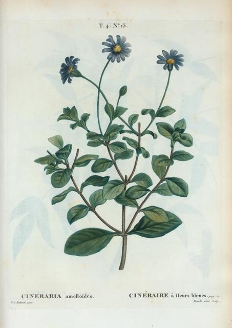 Cineraria amelloïdes = Cinéraire à fleurs bleues. [Blue-flowered Cinerariaor Cape Aster]