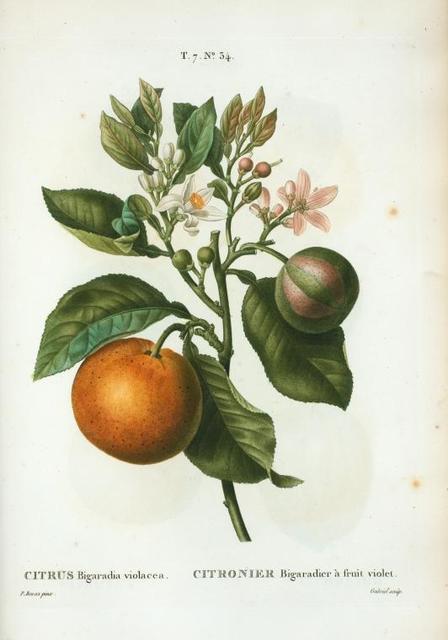 Citrus Bigaradia violacea = Citronier Bigaradier à fruit violet.