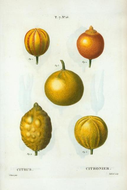 Citrus = Citronier. [5 types of bitter orange, sweet lemon, and sweet lime]