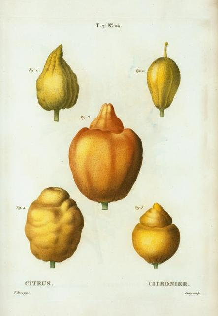 Citrus = Citronier. [various shapes of citrus]
