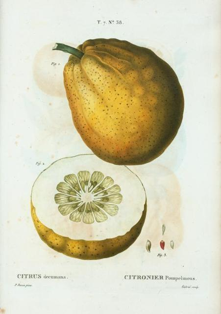 Citrus decumana = Citronier pompelmous. [Grapefruit]