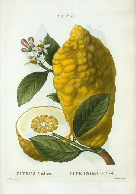 Citrus medica = Citronier de Médie. ['Buddha's Hand', Citron]