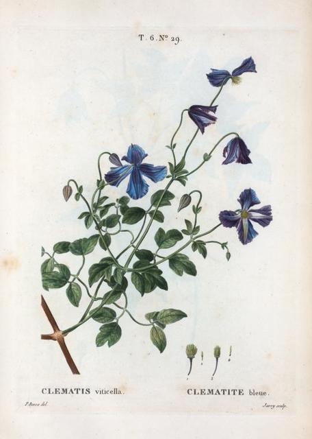 Clematis viticella = Clematite bleue. [Italian clematis]