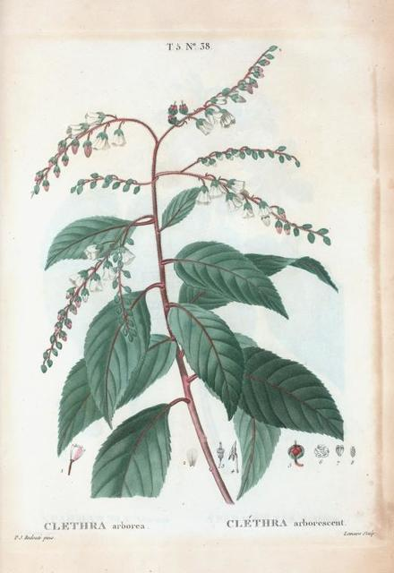 Clethera arborea = Cléthra arborescent. [Sweet-pepper bush]
