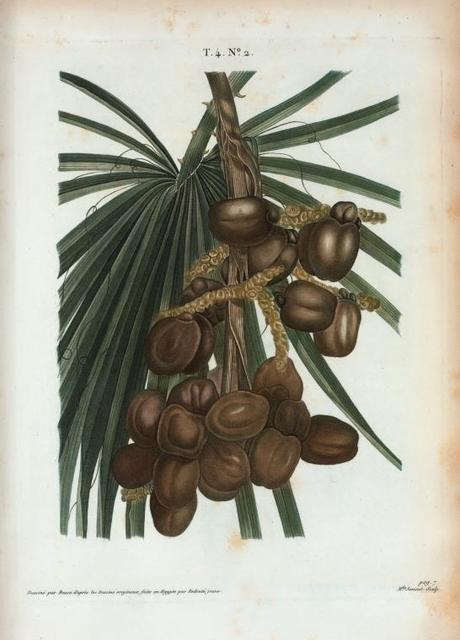 [Cluster of date palms.]