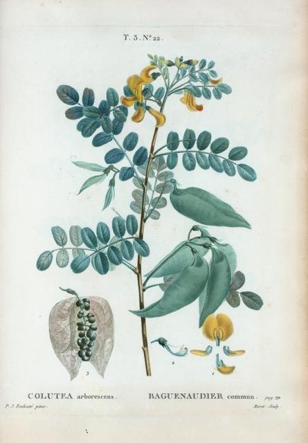 Colutea arborescens = Baguenaudier commun.