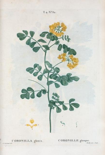 Coronilla glauca = Coronille glauque. {Sea-green, Day smelling Coronilla or Crown vetch