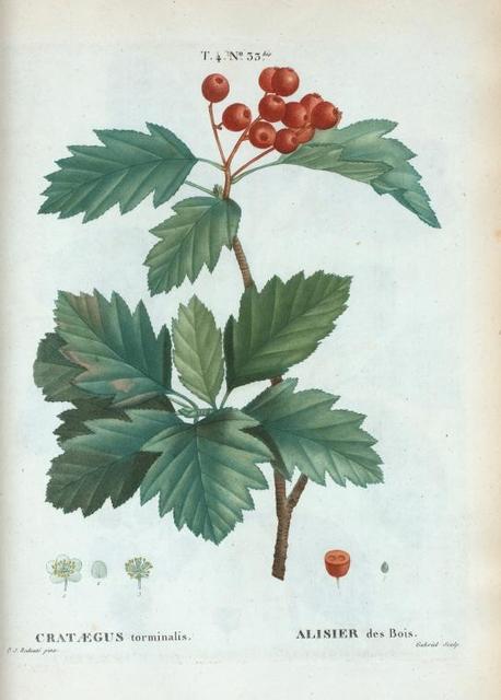 Cratægus torminalis = Alisier des bois. [Hawthorn]