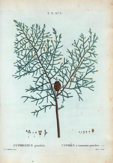 Cupressus pendula = Cyprès à rameaux penchés.