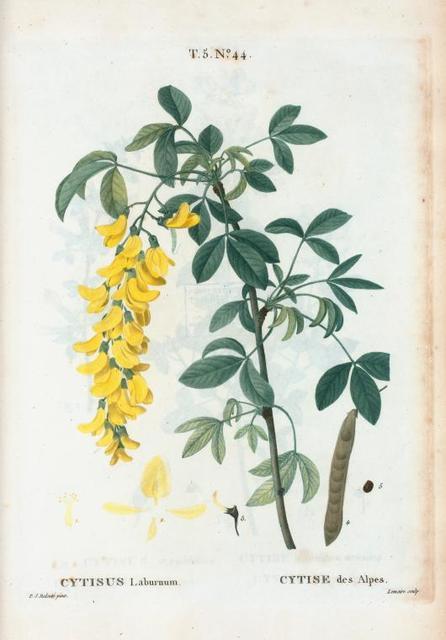 Cytisus laburnum = Cytise des Alpes. [Common Laburnum, Scotch Laburnum or Alpine golden chain]
