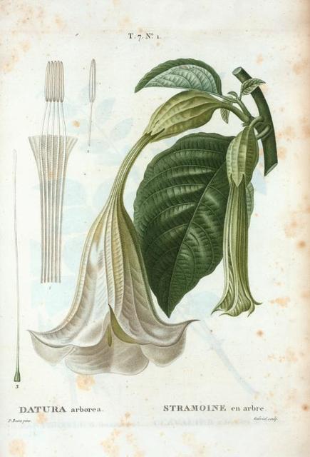Datura arborea = Stramoine en arbre. [Tree datura]