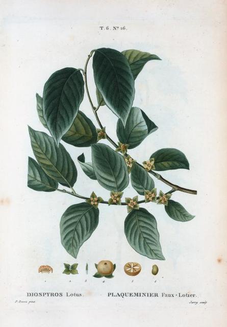 Diospyros lotus = Plaqueminier faux-lotier. [Date plum, an Asiatic persimmon]