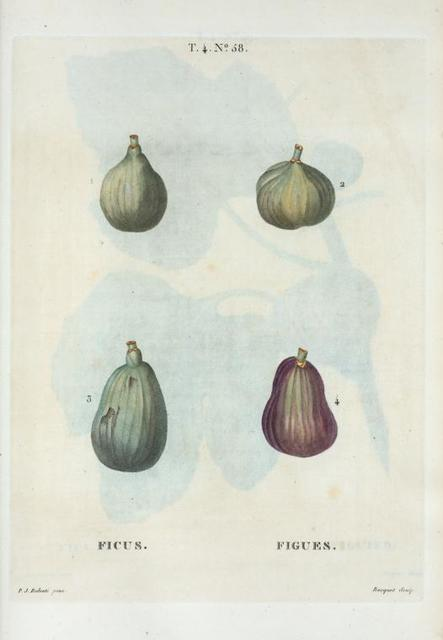 Ficus = Figues. {Figs