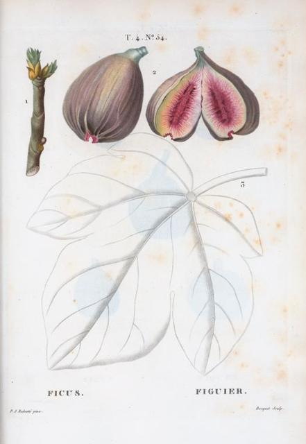 Ficus = Figuier. [Core of common fig]