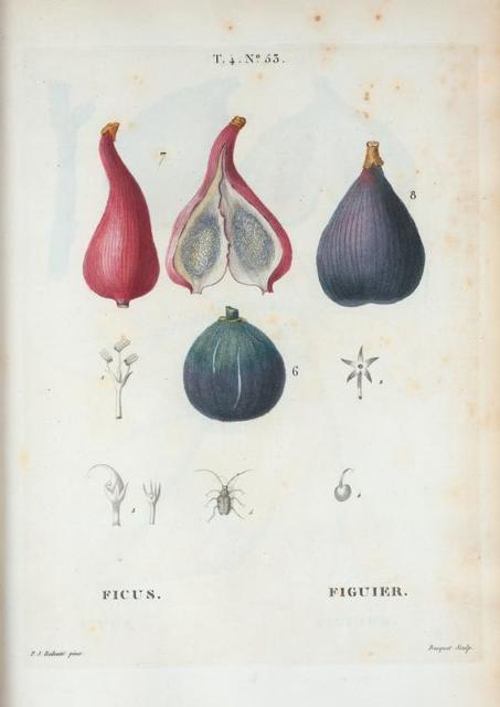 Ficus = Figuier. [Ficus carica or the Common Fig]