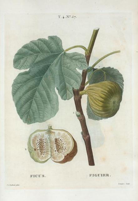 Ficus = Figuier. [Fig of Argenteuil, of Marseilles with leaf]