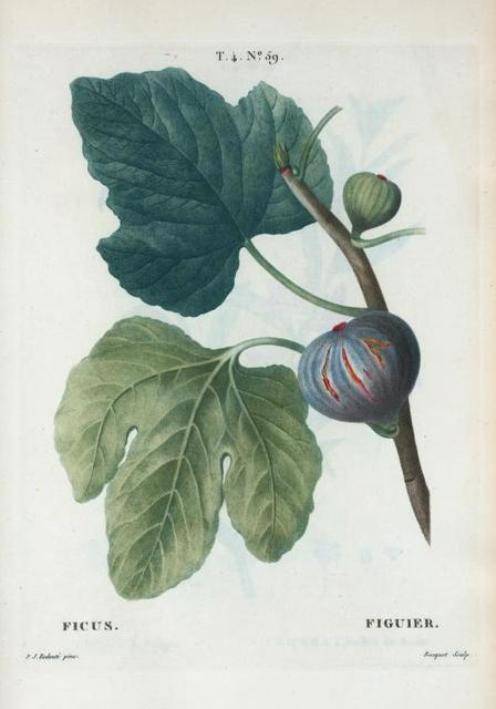 Ficus = Figuier. [Figs with leaves]