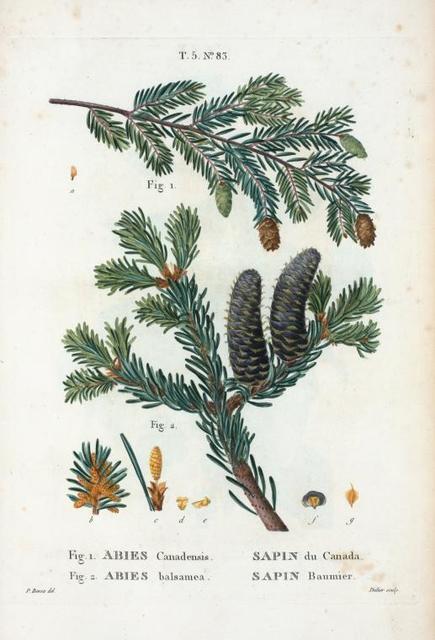 Fig. 1. Abies Canadensis = Sapin du Canada. Fig. 2. Abies balsamea = Sapin Baumier. [Hemlock spruce - Balsam fir or Slver fir]