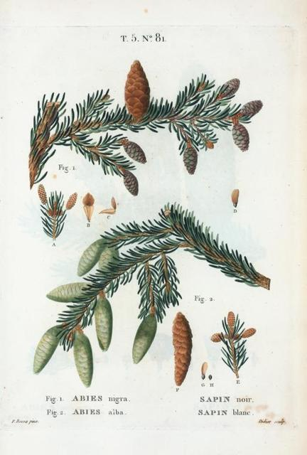 Fig. 1. Abies nigra = Sapin noir. Fig. 2. Abies alba = Sapin blanc.[Black spruce - European silver fir].