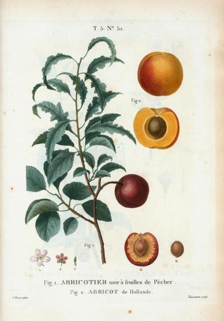 Fig. 1. Abricotier noir à feuilles de Pêcher. Fig. 2. Abricot de Hollande. [Inside part of apricot. Apricot from Holland]