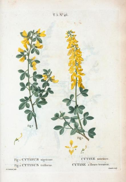 Fig. 1. Cytisus nigricans = Cytise noirâtre. Fig. 2. Cytisus triflorus = Cytise à fleurs ternées. [Yellow pea-flower]