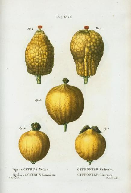 Fig. 1. et 2. Citrus medica = Citronier cedaratier. Fig. 3,4,et 5. Citrus limonium. [Madeira citron - Lemon]