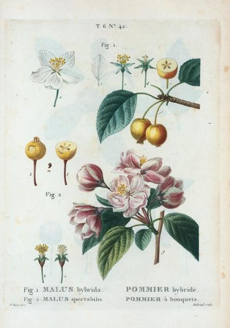 Fig. 1. Malus hybrida = Pommier hybride. Fig. 2. Malus spectabilis = Pommier à bouquets. [Flowering crab apple - Chinese flowering apple]