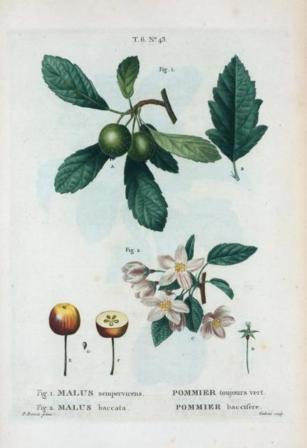 Fig. 1. Malus sempervirens = Pommier toujours vert. Fig. 2. Malus baccata = Pommier baccifére. [Southern crab apple - Siberian crab apple]