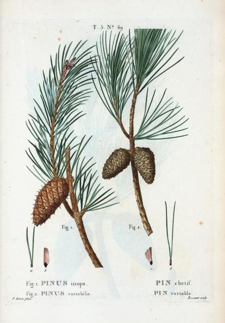 Fig. 1. Pinus inops = Pin chetif. Fig. 2. Pinus variabilis = Pin variable. [Shrub pine - Long-leaved pine, yellow pine, red pine, and pitch pine]