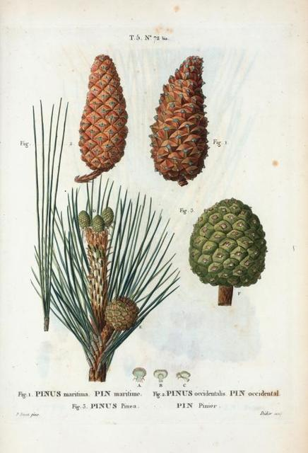 Fig. 1 Pinus maritima (Pin maritime). Fig. 2. Pinus occidentalis (Pin occidental). Fig. 3 Pinus pinea (Pin pinier). [Maritime pine - Italian stone pine (edible nut pine)]
