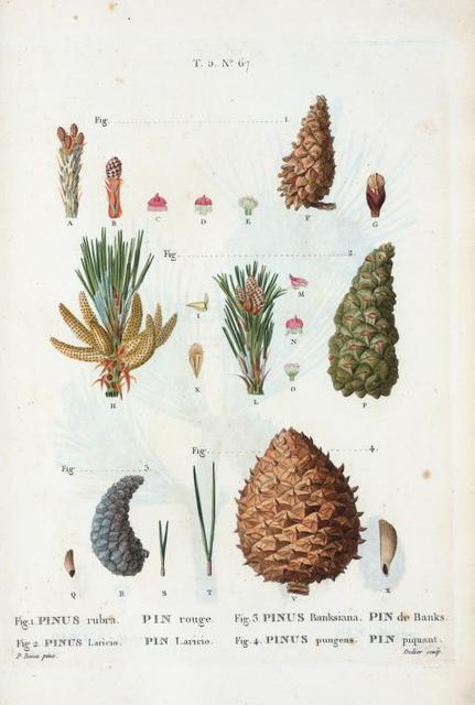 Fig. 1. Pinus rubra (Pin rouge). Fig. 2. Pinus Laricio (Pin Laricio). Fig. 3. Pinus Banksiana (Pin de Banks)... Fig. 4. Pinus pungens (Pin piquant). [Red pine - Called also silano Pine or Pine of Calabria - Jack pine - Mountain pine]