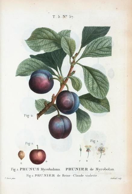 Fig. 1. Prunus Myrobalana = Prunier de Myrobolan. Fig. 2. Prunier de Reme-Claude violette. [Myrobalan plum]