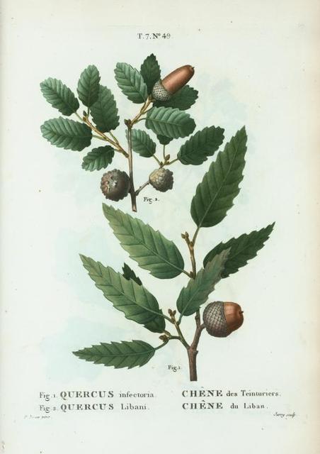 Fig. 1. Quercus infectoria = Chéne des Teinturiers. Fig. 2. Quercus Libani. [Aleppo oak - Lebanon oak]