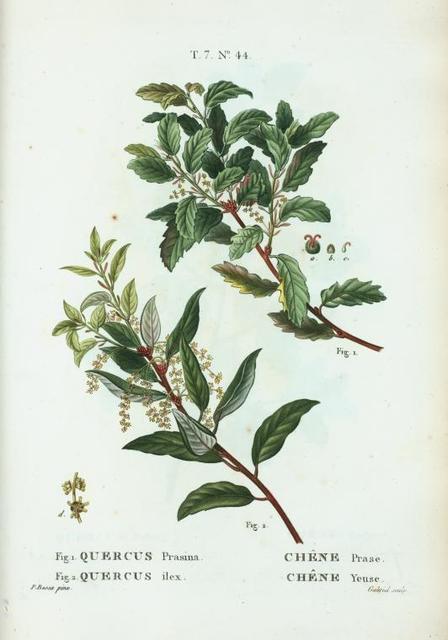 Fig. 1. Quercus prasina = Chéne prase. fig. 2. Quercus ilex = Chéne yeuse. [Holly oak]