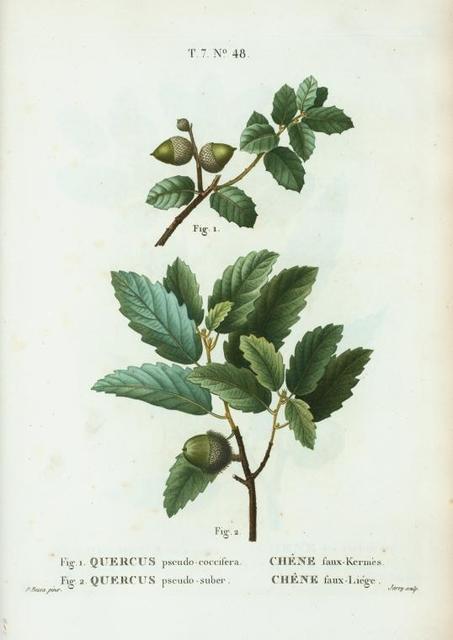 Fig. 1. Quercus pseudo-coccifera = Chéne faux-Kermés. Fig. 2. Quercus pseudo-suber. [Abraham's Oak - False Cork Oak]