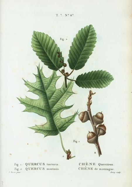 Fig. 1. Quercus tinctoria = Chéne Quercitron. Fig. 2. Quercus montana = Chéne de montagne. [Black Oak or Quercitron Bark - Rock Chestnut Oak]